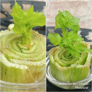 Food Waste Regrowing Celery